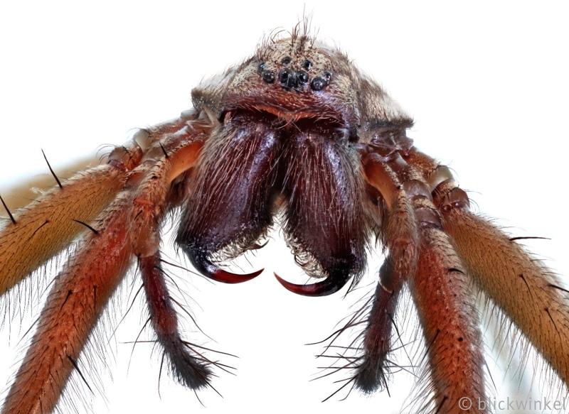 Grosse Hauswinkelspinne, Tegenaria gigantea, Tegenaria atrica, giant European house spider, giant house spider, larger house spider, cobweb spider