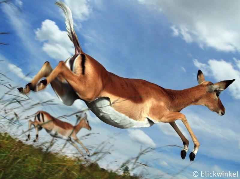 Schwarzfersenantilope, Schwarzfersen-Antilope, Impala, Aepyceros melampus, impala