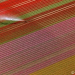 bluehende Tulpenfelder in Nordholland werden bewaessert, Luftbild - 60 Euro Mindesthonorar, blooming tulip fields in North Holland are watered, aerial view - 60 Euro minimum fee