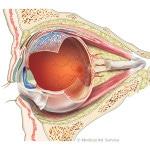 Anatomie des Auges in der Orbita