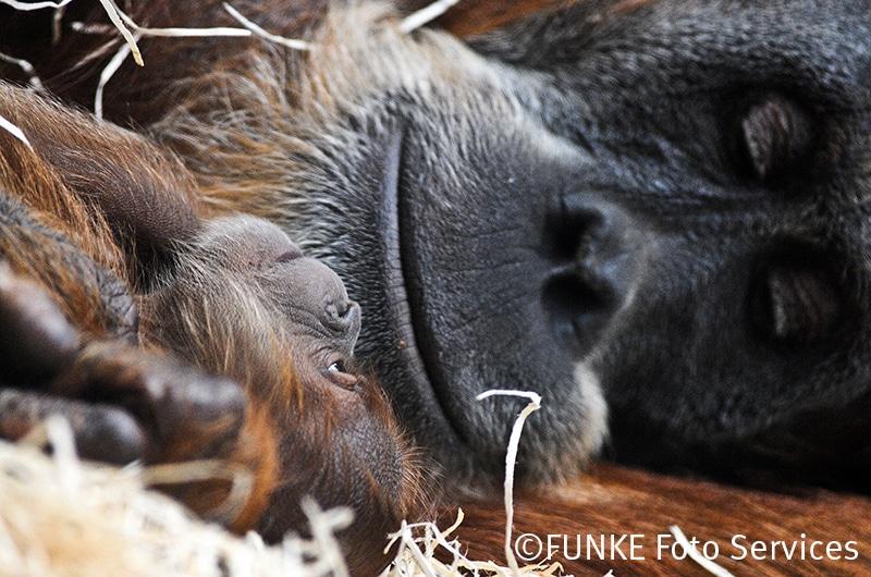 Ein Orang-Utan-Baby mit seiner Mutter Farida in der Zoom Erlebniswelt in Gelsenkirchen am 4. Oktober 2011. Das noch namenlose Maennchen (von den Pflegern wird es entweder King Louis oder Schorsch genannt) war am 28. September geboren wurden. Vater ist der 39-jaehrige Schubbi, das einzige Maennchen der Orang-Utan-Gruppe im Gelsenkirchener Zoo.