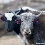 Durchgestylte Yaks, Nepal auf dem Annapurna Circuit bei Yak Kharka, Yaks, Jaks, Grunzochse, Rinderart