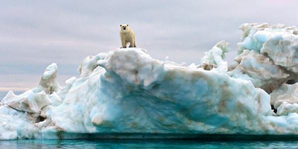 Male Polar Bear on an Iceberg Floating in the Beaufort Sea