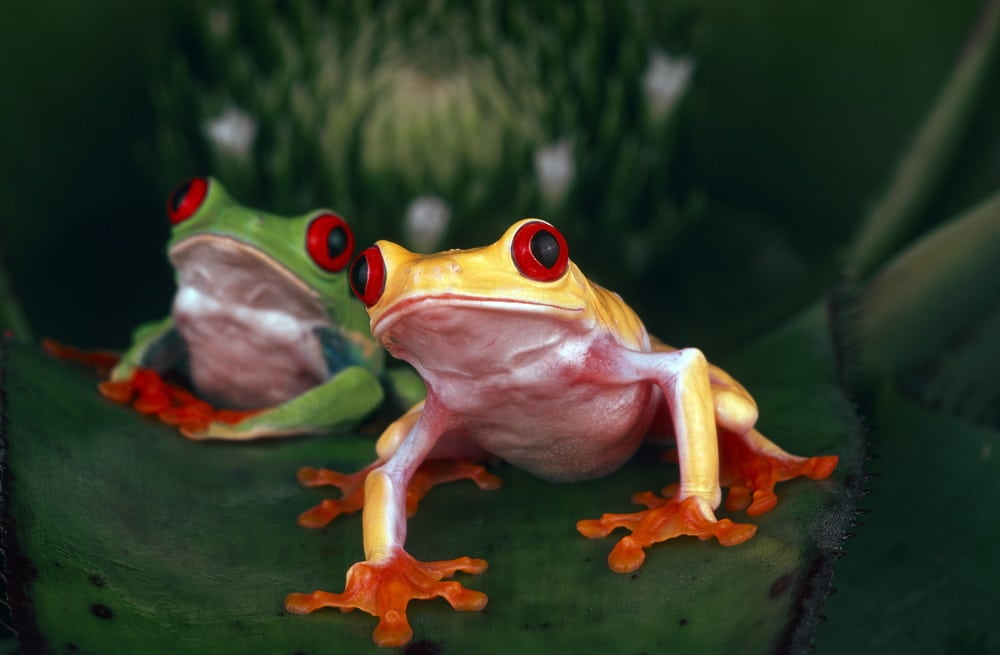 Red-eyed tree frogs - 30.11.2012