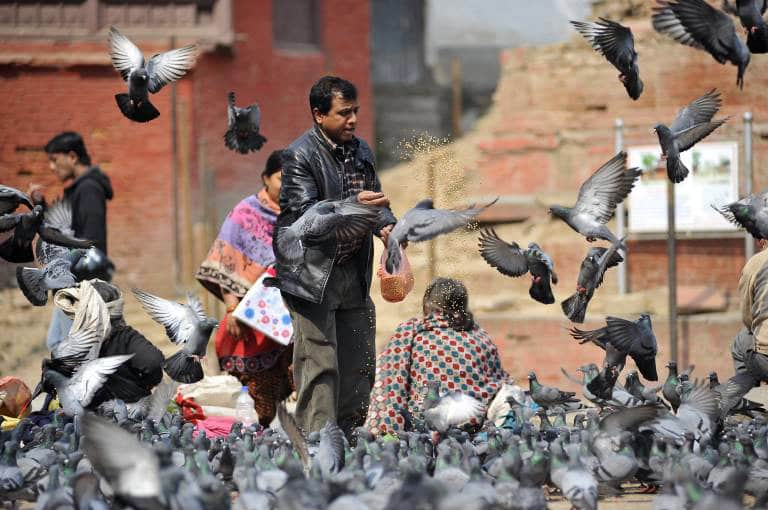 Tauben am Basantapur Platz in Kathmandu, Nepal Nepal : Feeding pigeons at Basantapur Durbar Square A Nepalese feeds the pigeons with corn grains at Basantapur Durbar Square. Basantapur Durbar Square in the Kathmandu Valley is listed as a World Heritage Site by UNESCO for its rich culture, temples, and wood, metal and stone artwork. PUBLICATIONxINxGERxSUIxAUTxONLY NarayanxMaharjan Pigeons at Basantapur square in Kathmandu Nepal Nepal Feeding pigeons AT Basantapur Durbar Square a Nepalese feeds The pigeons With Corn grains AT Basantapur Durbar Square Basantapur Durbar Square in The Kathmandu Valley IS Listed As a World Heritage Site by Unesco for its Rich Culture Temples and Wood Metal and Stone Artwork PUBLICATIONxINxGERxSUIxAUTxONLY NarayanxMaharjan