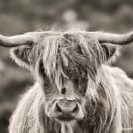 Highland Cattle (Bos taurus) or Kyloe, portrait, Lewis and Harris, Outer Hebrides, Scotland, United Kingdom, Europe