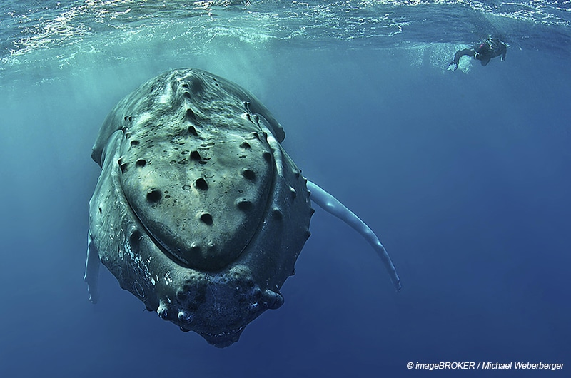 Humpback whale (Megaptera novaeangliae) with diver, Silver Banks, Dominican Republic, Central America