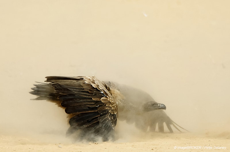 White-backed Vulture (Gyps africanus) standing with wings outstretched covered in dust