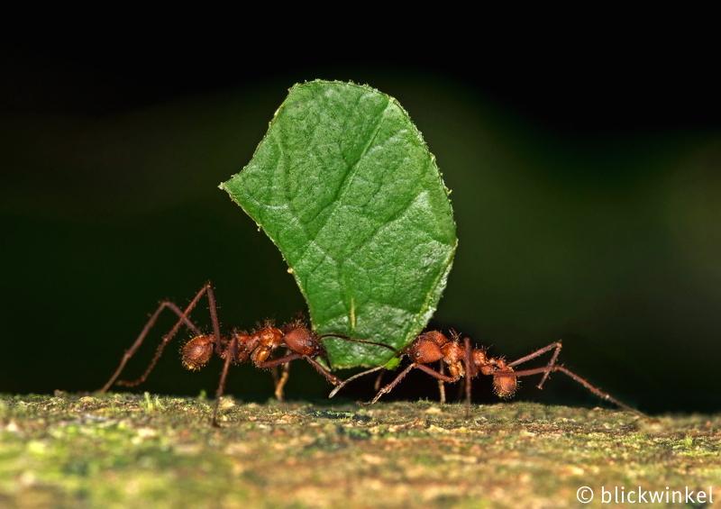 Blattschneiderameise, Atta spec., leafcutting ant