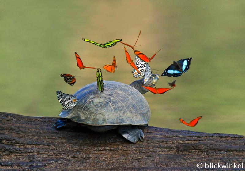 Terekay-Schildkroete, Terekayschildkroete, Terekay-Schienenschildkroete, Terekayschienenschildkroete, Podocnemis unifilis, Yellow-headed sideneck, Yellow-spotted sideneck turtle, Yellow-spotted Amazon River turtle, Yellow-spotted river turtle