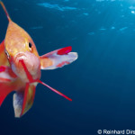|[de] Fische Fische Meeresfische Meeresfische |[de][AUTOTRANSLATE] Meerwasserfische Meerwasserfische |[en] fishes fishes marine fishes marine fishes |[en][AUTOTRANSLATE] marine fish marine fish |[fr] poissons poissons poissons marins poissons marins p