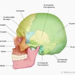 Anatomie des Schaedels, von lateral mit Text