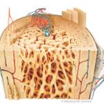 Knochen, Aufbau des Roehrenknochens