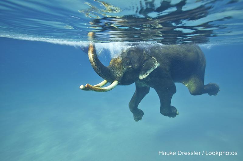 Schwimmender Elefant, Havelock Island, Andaman Islands, Union Territory, India