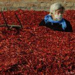 CHN, China. Shanxi. Eine Frau bei der Chili Ernte in Xiangfen [© xinhua / FOTOFINDER.COM - Veroeffentlichung nur gegen Honorar, Urhebervermerk und Belegexemplar an Fotofinder GmbH, Potsdamer Str. 96, D-10785 Berlin. Hinweis: NO MODEL-RELEASE! Bei werblicher Nutzung vorher Kontakt aufnehmen via E-Mail: fulfillment@fotofinder.com, Telefon: +49 (0)30 25 79 28 90 oder Fax +49 (0)30 25 79 28 999. Ueberweisung des Honorars erfolgt an: Fotofinder GmbH, Deutsche Bank, IBAN: DE03 1007 0024 0041 4862 00, BIC: DEUTDEDBBER.]