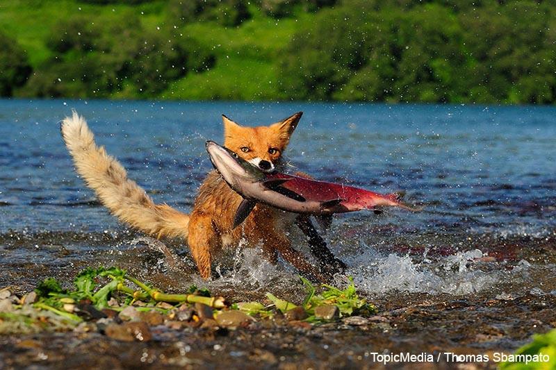 Rotfuchs (Vulpes vulpes) fängt einen Lachs, Kurilensee, Kamtschatka, Russland, Europa   Red Fox (Vulpes vulpes) with a caught salmon, Kurile Lake, Kamchatka Peninsula, Russia, Europe [Jede Nutzung ist honorarpflichtig. Wenn nicht anders vereinbart, gelten die MFM-Honorarempfehlungen. office@topicmedia-service.de, 089 / 289 72 596]