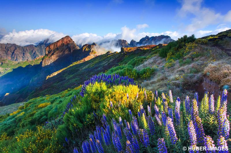 Madeira-Natternköpfe (Echium nervosum) am Pico do Arieiro (1818m), Insel Madeira, Portugal