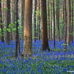 Atlantic Bluebells or Common Bluebells (Hyacinthoides non-scripta), Hallerbos, Halle, Flemish Brabant province, Flemish Region, Belgium, Europe